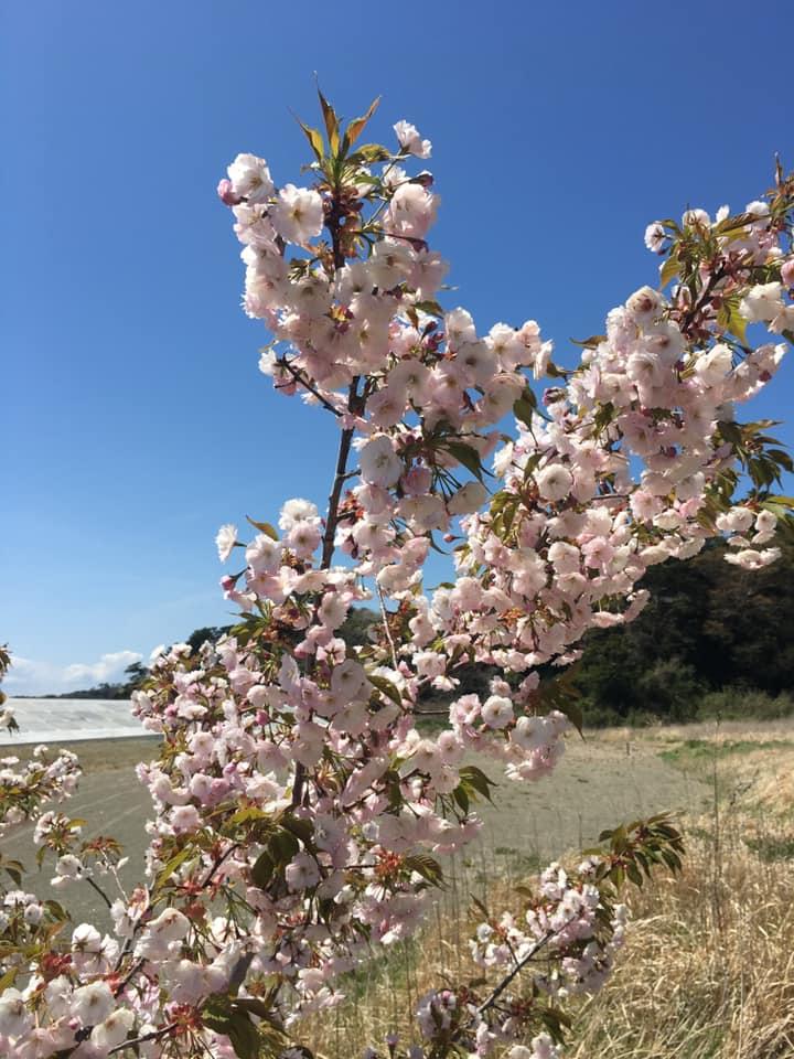 寒風沢島の桜は今年も満開を迎えました