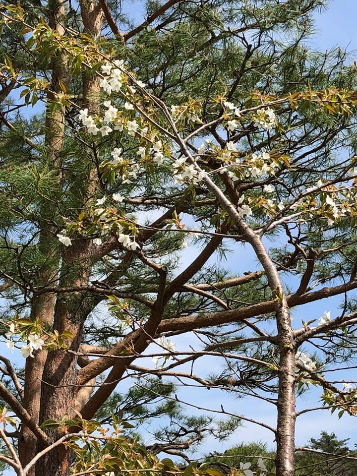 気仙沼にも、春が来ました